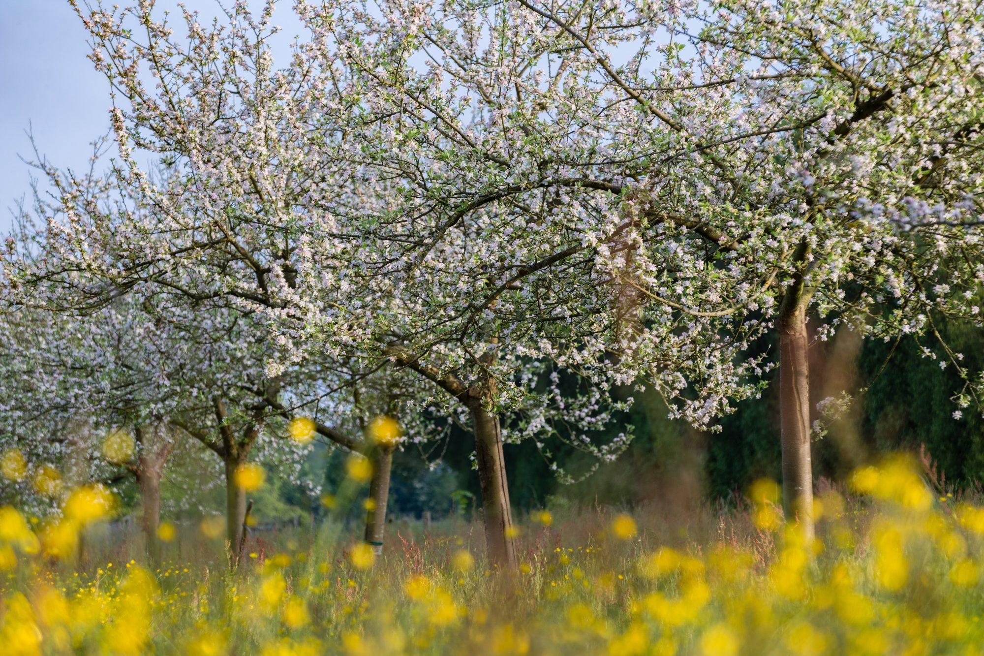 Pommiers en fleurs Isigny Omaha ©Th. Houyel Isigny Omaha Tourisme