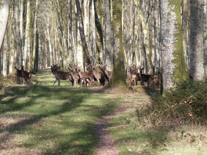 harde de cerf en forêt de Cerisy, Normandie
